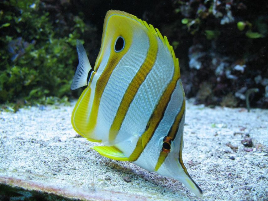attractive fish with yellow and white stripes